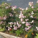 drobno cvetna roza vrtnica od zgoraj