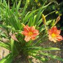 brstična lilija