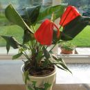 Moje sobne rože 2006