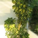 rumeno zelena šeflera