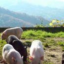 mladi pujsi pasme gettingen na dvorišču