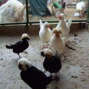 belokape holandske pritlikave kokoši