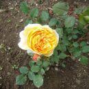 Moje vrtnice 2012