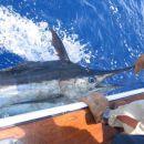 Blue marlin ujet na treningu, spuščen, caa 100kg