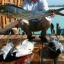 Lampuga, rumenoplavute tune, pilot. Ujeto na Zanzibarju, decembra 2004, na rapale-imitacij