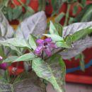Bolivian Rainbow cvet