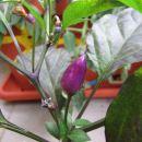 Bolivian Rainbow-prvi plod
