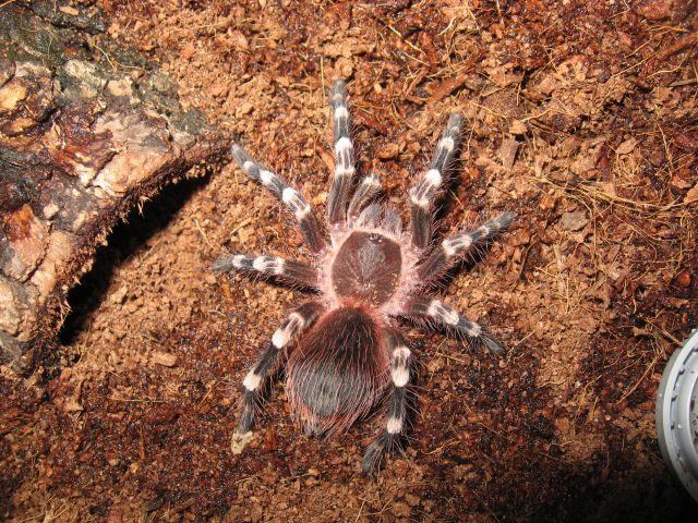 A.geniculata