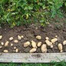 krompir in česen 1.7.2011