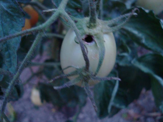 Požrt paradižnik