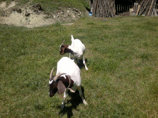 Koze - foto