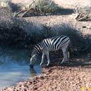 Stepska zebra - Burchells Zebra