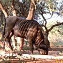 Progast gnu - Blue Wildebeest