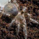 Grammostola aureostriata -->3cm trup