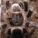 Grammostola aureostriata  - karapaks