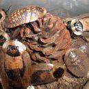 Blaberus cranifer - smrtnoglavi scurek