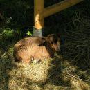 Pritlikave koze ter osliček Filip