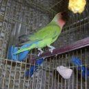 Papagaj Maj