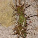 Tephrocactus articulatus v. papyracanthus
