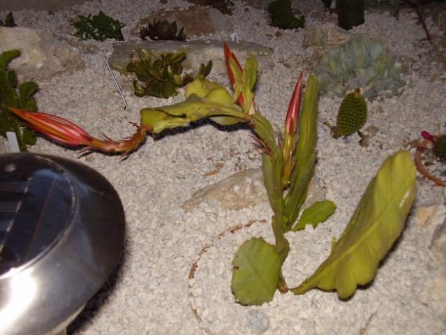 Kaktusi - foto