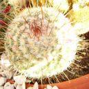 Mammillaria Bombycina
