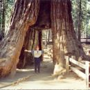 Giant sequoia tree in Yosemite National Park