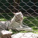 white tiger - Las Vegas (Mirage)