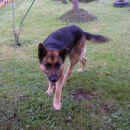 Najbolj tečen pes Max