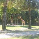 Žirafe...