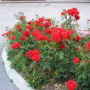 vrtnice rdeče(junij 2006)