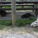Trije psi poležavajo. V ospredju Sky, majhna rjava pika za Sky-jem je Dingo naš mešanček i