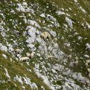 ovčke v strmini