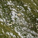 ovčke na strmem pobočju Tosca