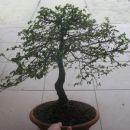najin prvi bonsi