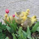 Mlade goske; april 2005