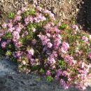 Dišeči volčin (Daphne cneorum) 1; april 2005