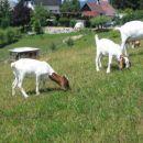 Koze na paši; julij 2006