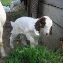15 dni star burski kozliček; maj 2007