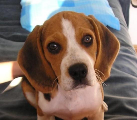 Nekad i sad Beagle-family-foto_640159_1184442_1273097