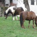 Konja v olševku .
