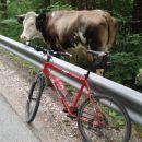 In kar naenkrat sem zagledal kravo ob cesti .Še božati se mi je pustila.