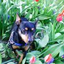 Tole ni črn tulipan,ampak je Tini
