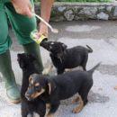 Mali psički, med njimi tudi psička Nežika, ko je bila še mladiček in psička Lady