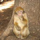 Berberske opice