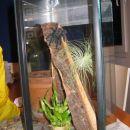 Avicularia Braunshausemi