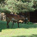 mislim da je to ena antilopa