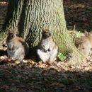 kengurujčki