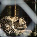 ...in zaspani leopard