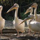 pelikanska druščina