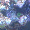 Neznan organizem - mogoče zoanthus?